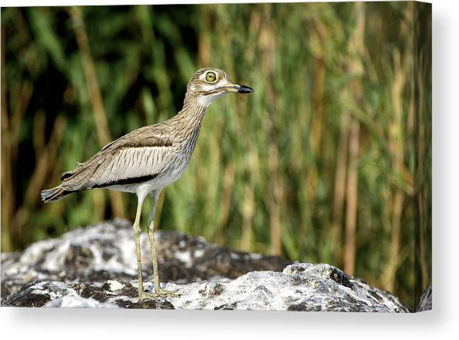 Chobe Canvas Print featuring the photograph This Is Botswana No. 5 - Water Thick-knee by Paul W Sharpe Aka Wizard of Wonders