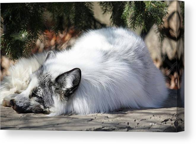 Maryland Canvas Print featuring the photograph Arctic Fox by Ronald Reid
