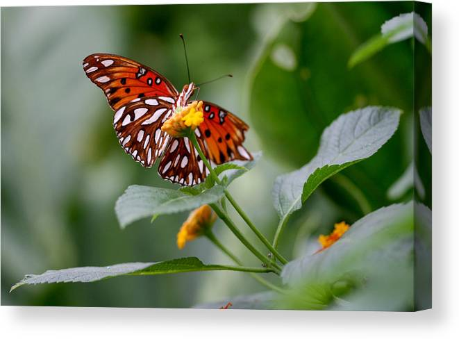 Butterfly Canvas Print featuring the photograph Butterfly by Jason Hochman