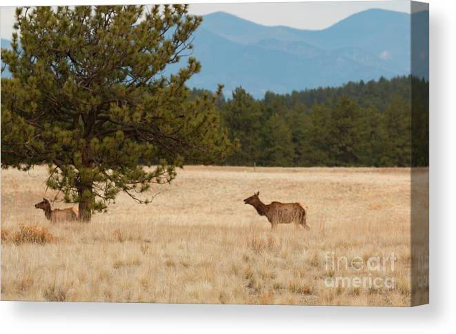 Elk Canvas Print featuring the photograph Elk In The Fossil Beds by Steve Krull