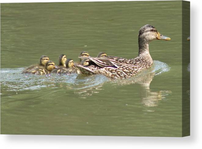 Mallard Canvas Print featuring the photograph Mama Mallard And Her Ducklings Out For A Morning Swim by Joe Lee