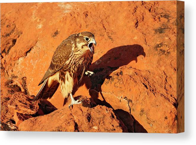Birds Canvas Print featuring the photograph Prarie Falcon by Dennis Hammer
