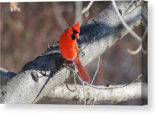 Cardinal Canvas Print featuring the photograph Take My Picture by Lori Tambakis
