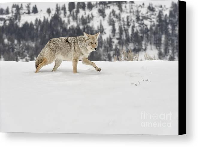 Wildlife Canvas Print featuring the photograph Winter's Determination by Sandra Bronstein
