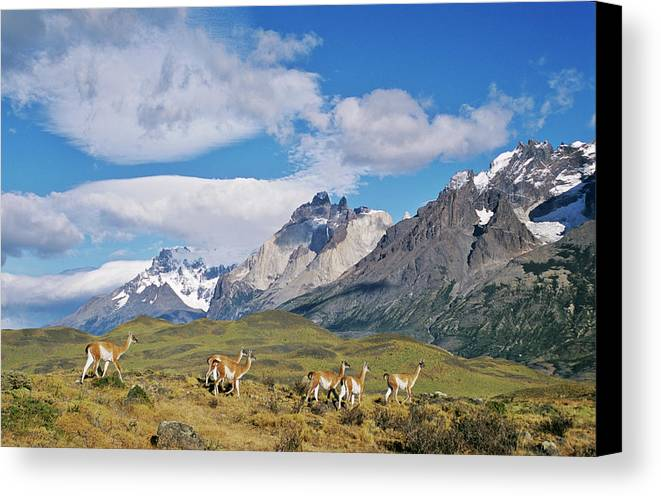 Andes Canvas Print featuring the photograph Guanaco (lama Guanicoe by Martin Zwick