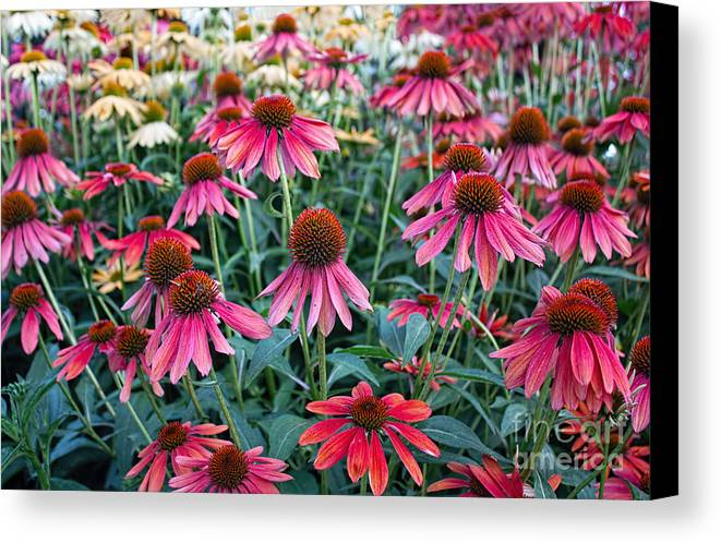 Coneflower Canvas Print featuring the photograph Fields Of Coneflower by Barbara McMahon