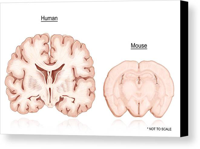 Human and mouse brain comparison canvas print canvas art by evan oto illustration canvas print featuring the photograph human and mouse brain comparison by evan oto ccuart Image collections