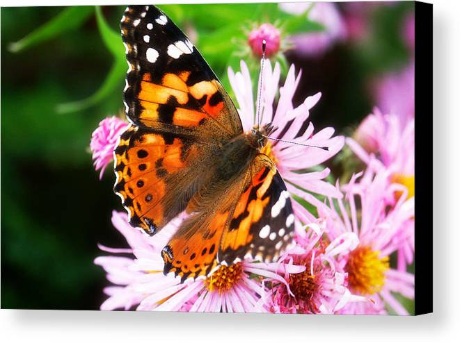 Flower Canvas Print featuring the photograph Late Summer Painted Lady by Marilyn Hunt