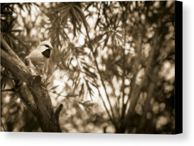Finch Canvas Print featuring the photograph Sepia Finch by Bradley R Youngberg