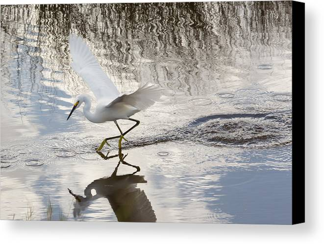 Nature Canvas Print featuring the photograph Snowy Egret Gliding Across The Water by John M Bailey