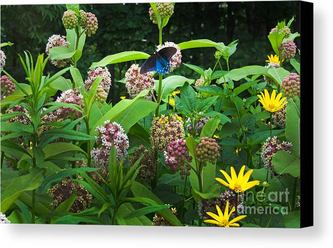 Common Milkweed Canvas Print featuring the photograph Wildflower Meadow by Kenneth Murray