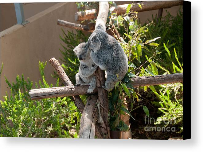 Animals Canvas Print featuring the digital art Koala by Carol Ailles