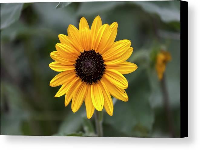 Sunflower Canvas Print featuring the photograph Sunflower by Robert Ullmann