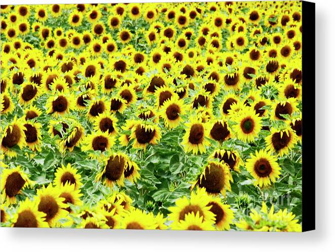 Agriculture Agricultural Crop Cultivate Cultivation Rural Farming Field Countryside Environment Sunflower Yellow Flowers Oil Plant Canvas Print featuring the photograph Field Of Sunflowers by Bernard Jaubert