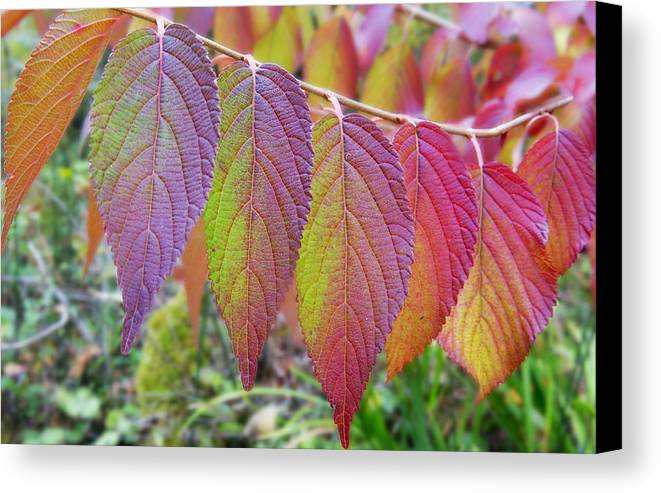 Fall Leaves Canvas Print featuring the photograph Hanging Out To Dry No. 2 by Belinda Greb