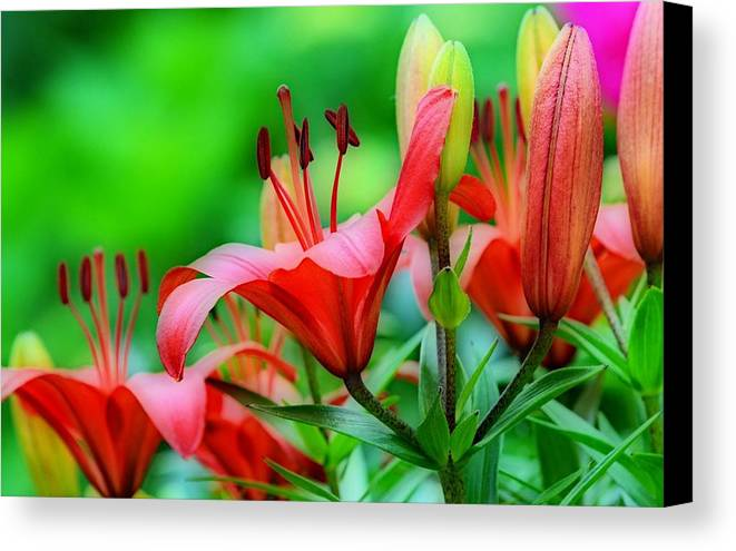Lilies Canvas Print featuring the photograph Lilies Ascending by Fraida Gutovich