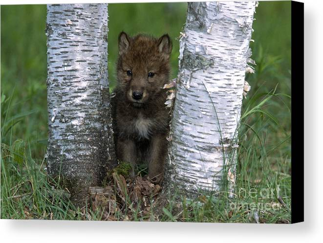 Wolves Canvas Print featuring the photograph Wolf Pup Playing Peekaboo by Sandra Bronstein