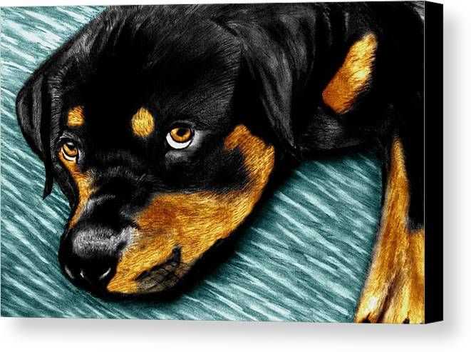 Rot Wilier Canvas Print featuring the drawing Rotty by Peter Piatt