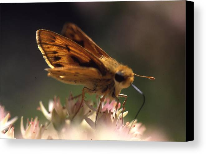 Canvas Print featuring the photograph Butterfly-lick by Curtis J Neeley Jr