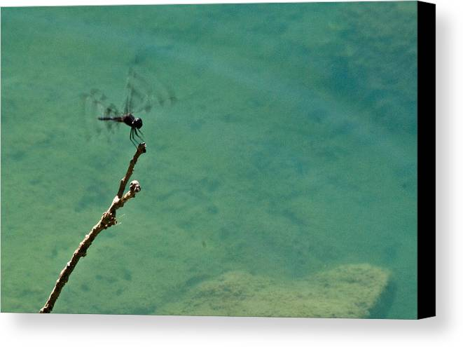 Dragonfly Canvas Print featuring the photograph Dragonfly Exercising Wings by Douglas Barnett