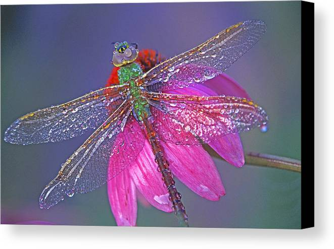 Dew Covered Dragonfly Rests On Purple Cone Flower Canvas Print featuring the photograph Dreaming Dragon by Bill Morgenstern