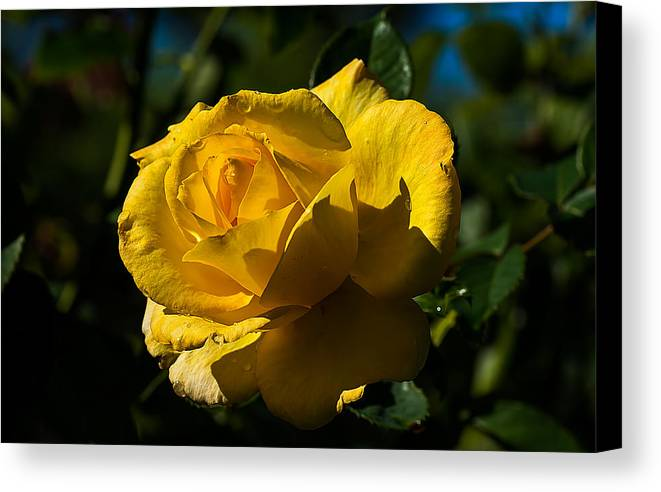 Rose Canvas Print featuring the photograph Early Morning Rose by Kenneth Albin