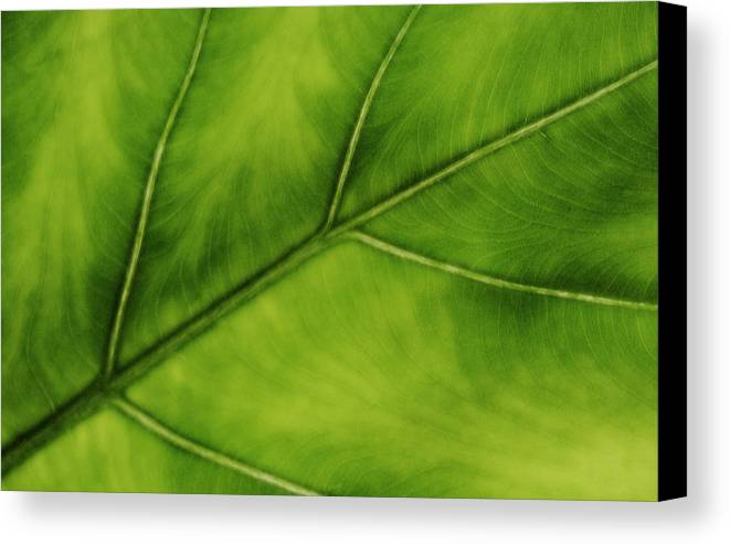 Leaf Canvas Print featuring the photograph Elephant Ear by Marilyn Hunt
