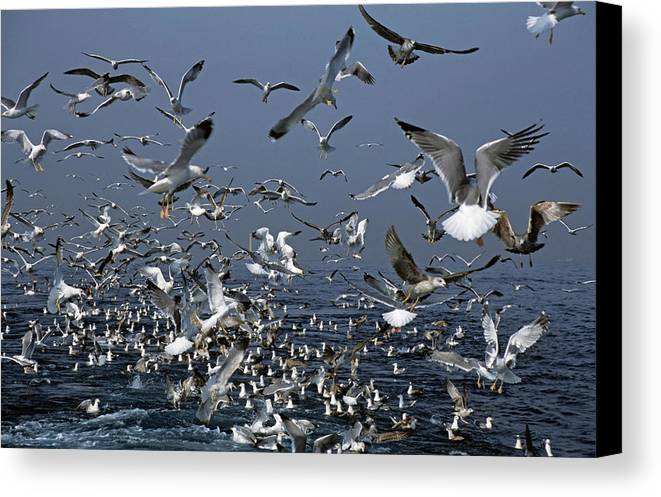Chaos Canvas Print featuring the photograph Flock Of Seagulls In The Sea And In Flight by Sami Sarkis