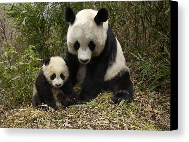 Mp Canvas Print featuring the photograph Giant Panda Ailuropoda Melanoleuca by Katherine Feng
