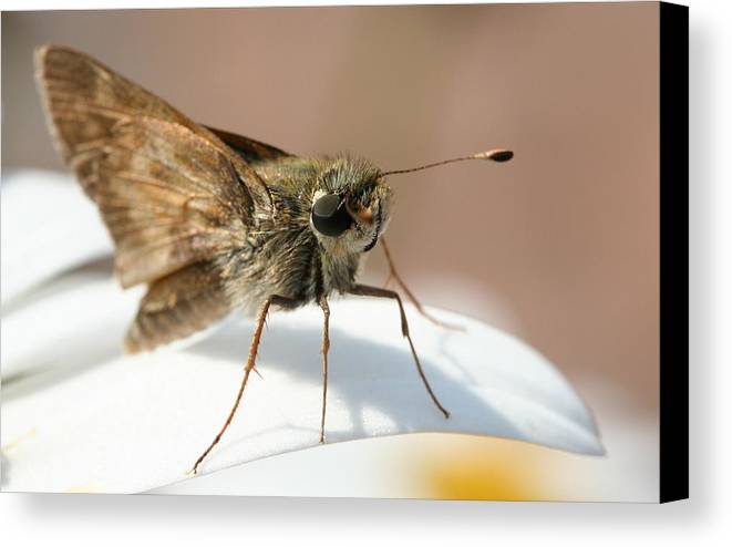 Moth Canvas Print featuring the photograph Hello There. by Jason Hochman