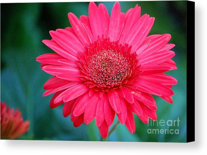 Gerber Daisy Canvas Print featuring the photograph In The Pink by Debbi Granruth