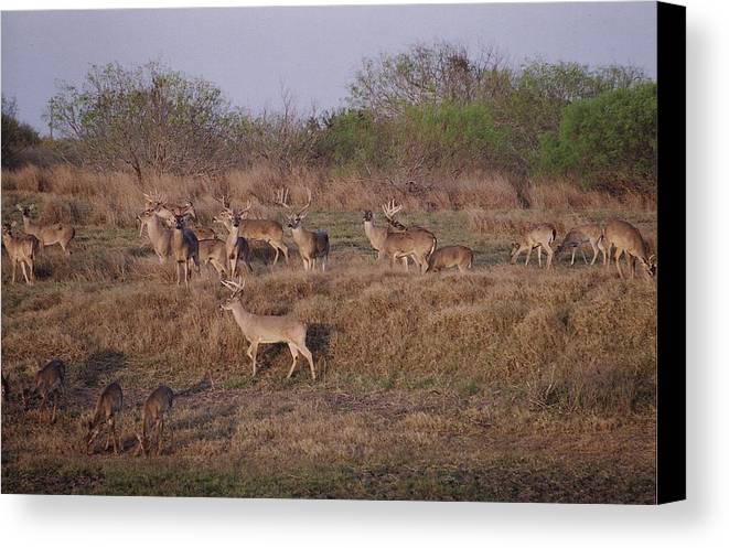 Deer Canvas Print featuring the photograph Private Ranch 1 by Wendell Baggett