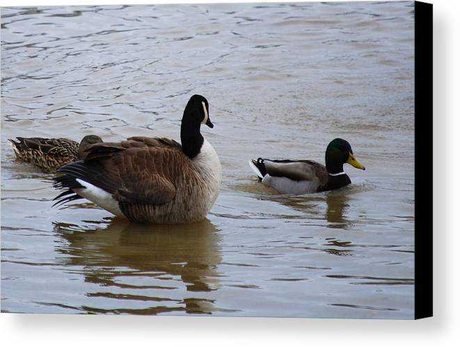 Mallards. Ducks Canvas Print featuring the photograph Three Is A Crowd by Trudi Southerland