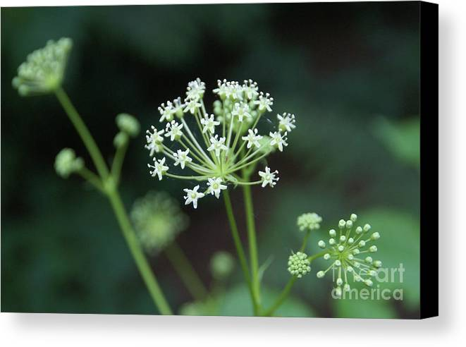 Wildflower Canvas Print featuring the photograph Web Design by Linda Shafer