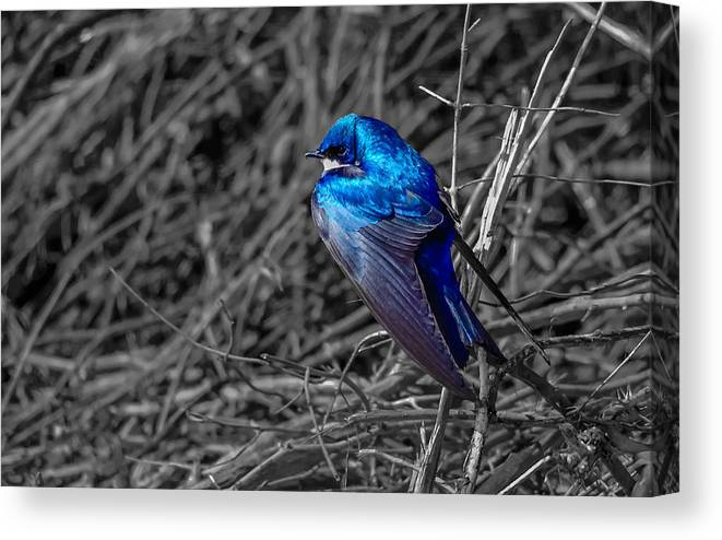 Canvas Print featuring the photograph Tree Swallow by Brian Stevens