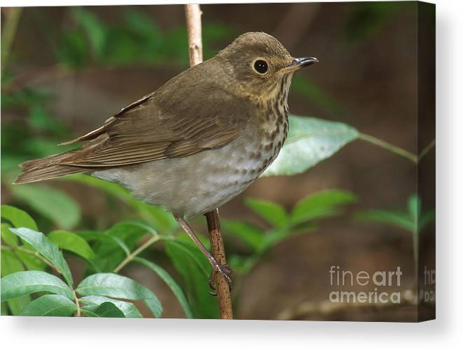 Animal Canvas Print featuring the photograph Swainsons Thrush by Anthony Mercieca
