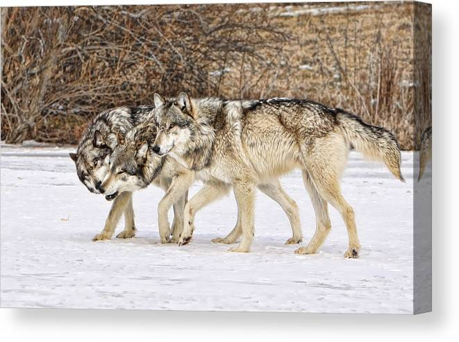 Wolf Canvas Print featuring the photograph 3 Pack by Shari Jardina