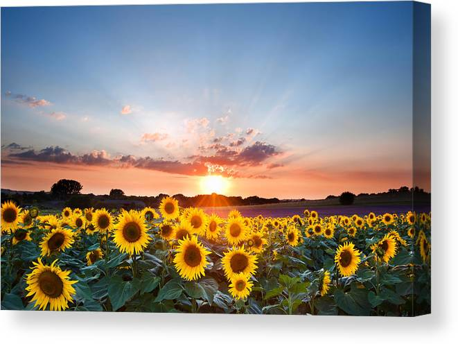 Sunflower Canvas Print featuring the photograph Sunflower Summer Sunset Landscape With Blue Skies by Matthew Gibson