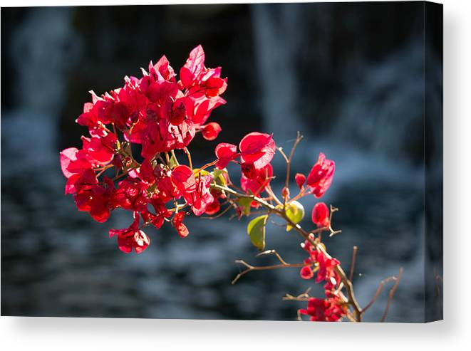 Sonoran Desert Canvas Print featuring the photograph Blooming In Front Of The Falls by Aaron Burrows