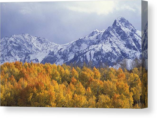 Colorado Canvas Print featuring the photograph Golden Aspens With Mt. Sneffels by Beth Wald