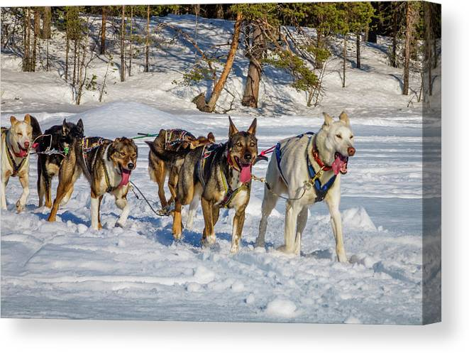 Photography Canvas Print featuring the photograph Husky Sled Dogs, Lapland, Sweden by Panoramic Images