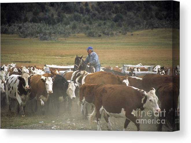 Cowboy Canvas Print featuring the photograph Cattle Round Up Patagonia by James Brunker