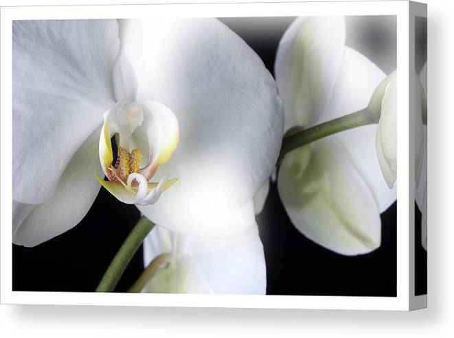 White Orchids On A Black Background Canvas Print featuring the photograph Soft Orchid by Mauro Celotti