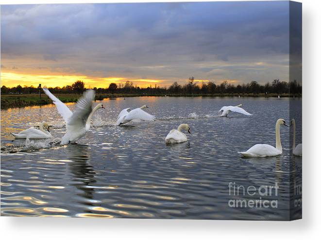 England Canvas Print featuring the photograph Swans At Sunset by Lana Enderle