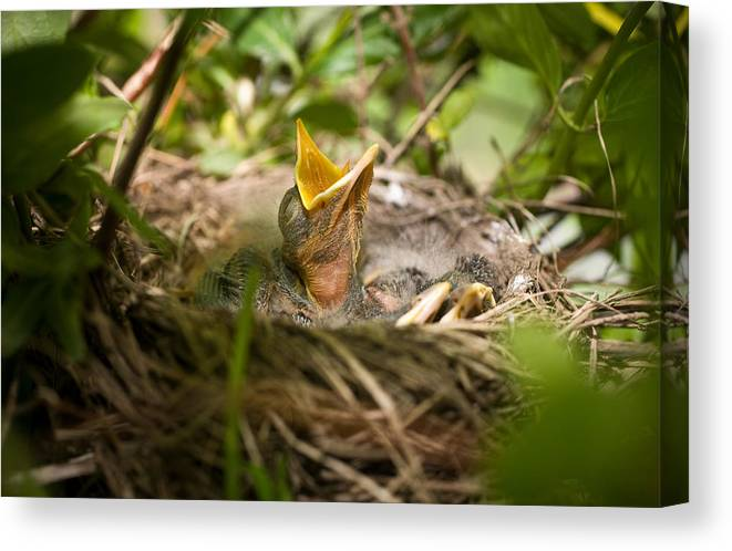 Spring Canvas Print featuring the photograph Waiting To Be Fed-robin by John Magyar Photography