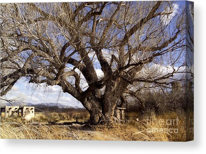 Trees Canvas Print featuring the photograph Cottonwood Tree At San Pedro House by Kathy McClure