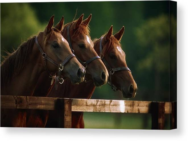 Day Canvas Print featuring the photograph Ireland Thoroughbred Horses by The Irish Image Collection