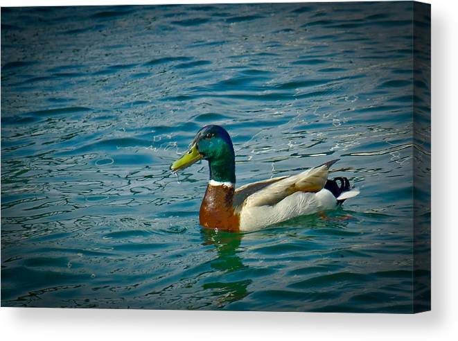 Duck Canvas Print featuring the photograph Afternoon Swim by Ken Gimmi