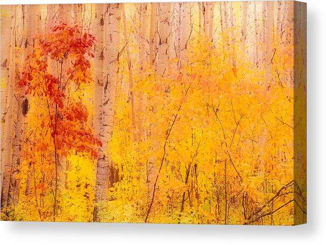 Photography Canvas Print featuring the photograph Autumn Forest Wbirch Trees Canada by Panoramic Images