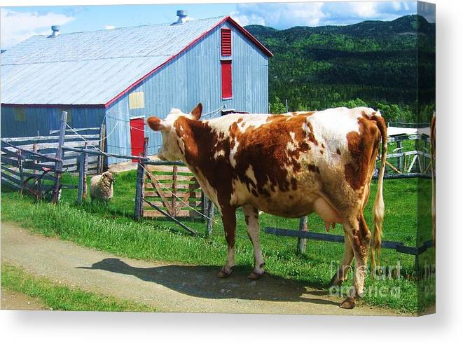 Photograph Cow Sheep Barn Field Newfoundland Canvas Print featuring the photograph Cow Sheep And Bicycle by Seon-Jeong Kim
